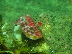 Baby Cuttlefish (genericitis) Tags: underwater sydney scuba diving laperouse bareisland sydneydiveacademy