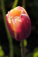 Out Of The Dark (gripspix (OFF)) Tags: plant nature natur pflanze tulip tulpe 20140424