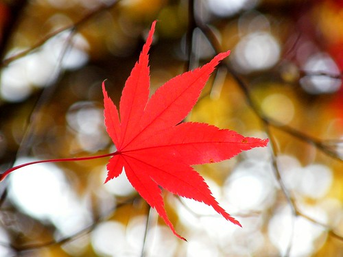 Maple Leaf and Bokeh
