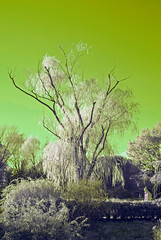 Willow In Winter (aeschylus18917) Tags: tree nature japan landscape ir nikon scenery surreal willow infrared  d200 weepingwillow 1870mm tachikawa salix  showamemorialpark  salicaceae showakinenkoen   danielruyle aeschylus18917 danruyle druyle