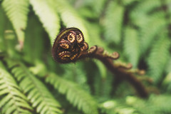 unravelling (bkiwik) Tags: life new newzealand christchurch plant fern green nature digital canon spiral native canterbury frond nz dslr unravelling unravel spiralling eos6d