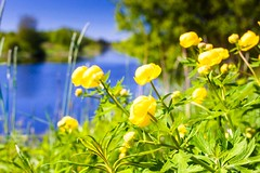 Water Lilies On The River Bend (k009034) Tags: summer sky flower green nature water beautiful beauty leaves yellow finland river outdoors day bend scenic scandinavia idyllic distant in nupharlutea nuphar beautyinnature lutea 500px pyhajoki teamcanon