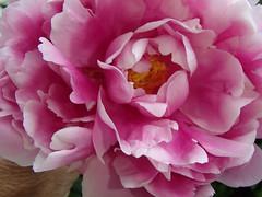 snow break (Isaiah62:1) Tags: flower macro object olympus pinkflower thelittlethings flickrtoday flickruniverse snowbreak flickernature floraaroundtheworld tg620 befreephotos norulesnolimitspics anykindofnature 50plusphotos