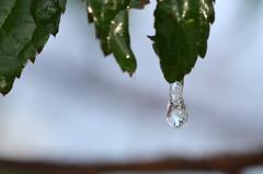 Frost 04 (unkel.unterwegs) Tags: winter frost blumen freeze makro eis kiel schleswigholstein wassertropfen klte