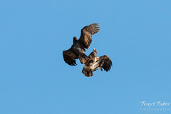 Juvenile Bald Eagles Play in the Sky Sequence - 2 of 10