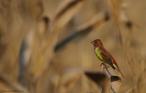 นกจาบปีกอ่อนสีตาล / Crestnut Bunting / Emberiza rutila