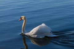 Roath Park 9th Feb 2015 036 (jasondunn2014) Tags: blue white lake bird water beautiful birds proud canon swan royal waterbird 7d graceful