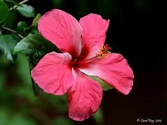 Hibiscus rosa-sinensis / Hibiscus rose de Chine / (Laval Roy) Tags: srilanka hibiscusrosasinensis shoeflower chinarose chinesehibiscus hawaiianhibiscus malvaces eos7d hibiscusrosedechine plantesetfleurs ef300mm14lisextender14xiii lavalroy