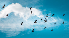 wild and blue (Cait Sumfin) Tags: blue sky nature birds clouds flying geese flight yay formation