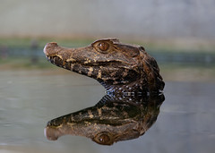 Crocodile reflecting.... (babygreys) Tags: coth5