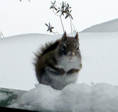 Red Squirrel. (dccradio) Tags: winter snow ny newyork nature animal squirrel natural snowy scenic adirondacks duane malone redsquirrel adirondackstatepark