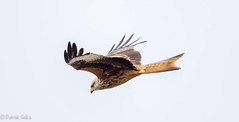 Just had to take another shot of a Red Kite. (Pat Galka) Tags: birds bif redkite
