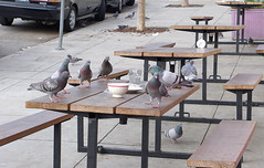 lunchtime (glennbphoto) Tags: sanfrancisco pigeons