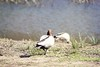Audley Park Ducks (everyday sh⊙_☉ter) Tags: park beach forest sydney waterfalls kookaburra wattamolla garie royalnationalpark audley stanwell hackerriver