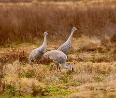 Sandhill Cranes (backup1940) Tags: texas sony cranes sandhillcranes backup1940