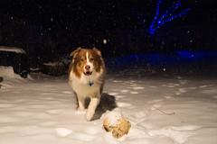 Night game, Snow, Soccer and Jax (sturner404) Tags: blue winter snow black cold night soccer snowing aussie australianshepherd jax