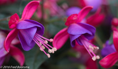 IMG_7599-1 (A.J. Boonstra) Tags: macro canon with fuchsia usm f28 efs60mm 700d