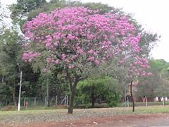DSC04220 Ip Rosa (familiapratta) Tags: flowers flores flower nature iso100 sony natureza flor hx100v dschx100v