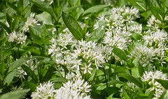 0622 Ransom - Wild Garlic - Allium ursinum (Andy in relax mode) Tags: flower www rrr aaa ggg fff ramsons wildgarlic alliumursinum 20160504