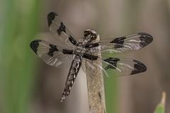 Freshly Emerged Whitetail (Odonata457) Tags: female unitedstates dragonfly maryland columbia common whitetail plathemislydia teneral