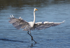 Not sharing (christinaportphotography) Tags: wild white bird birds wings fishing dof dancing free australia nsw centralcoast egret share prawn fleeing prawning woywoy ardeamodesta easterngreategret