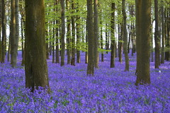 bluebell woods at Ashridge (C-Smooth) Tags: flowers trees england green nature bluebells forest landscape flora nikon colours purple buckinghamshire blues nationaltrust magical ashridge bellezza bluebellwoods grapehyacinth mk1 hyacinthoidesnonscripta dockeywood csmooth stefanocabello