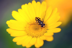 Hoverfly on yellow African daisy aka osteospermum (Dr. Howard P-J) Tags: closeup outdoor wildlife africandaisy hoverfly osteospermum