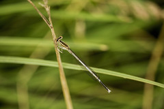 Szleslb szitakt (Cini S) Tags: insect dragonfly damselfly whiteleggeddamselfly
