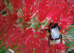Bumblebee on Bottlebrush plant (roger.w800) Tags: bee bumblebee london riverthames southbank bottlebrushplant red redflower