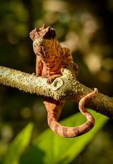 Chameleon, Madagascar (Rod Waddington) Tags: africa wild nature african wildlife lizard afrika chameleon madagascar afrique malagasy