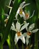 10-Orchid face - 5782 (Ramarsh45) Tags: plants face orchids greenhouse glasshouse pottingshed kingstonlacy plantpots kitchengardrn