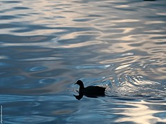 Coot (Fulica atra) (Jeff G Photography - jeffgphoto@outlook.com) Tags: lake water pond southpark waterfowl coot waterreflection fulicaatra commoncoot southparkilford