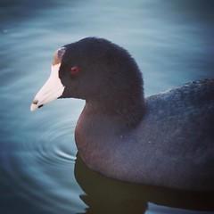 American Coot #coot #bird #wildlife #animal #nature #outdoors #closeup (dewelch) Tags: ifttt instagram american coot bird wildlife animal nature outdoors closeup