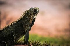 iGuaNa (jacinto_udi) Tags: brazil animal brasil canon eos is lizard iguana bahia mm lagarto tone bicho sauipe 70d 55250