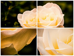 Divided (Robby van Moor) Tags: roses rose four divided