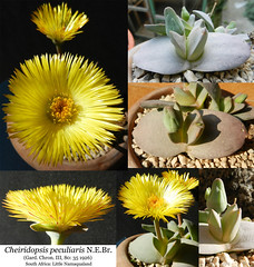 Cheiridopsis peculiaris (collage) - (Succulents Love by Pasquale Ruocco (Stabiae)) Tags: southafrica succulent mesembryanthemum mimicry succulents stabiae namaqualand mimetismo piantegrasse aizoaceae succulente mesembryanthemaceae cheiridopsis cactusco mesembs pasqualeruocco mesembryanthema forumcactusco cheiridopsispeculiariscollage peculiariscollage