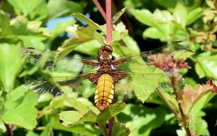 Broad bodied chaser (cdwpix) Tags: dragonfly yorkshire east chaser holderness