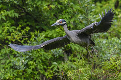I'm Off (ThruKurtsLens.com (Kurt Wecker)) Tags: usa water photography wildlife wildlifephotographer 2016 naturephotographer nikond500 thrukurtslenscom kurtwecker nikon200500