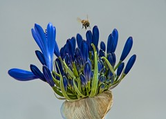 Checking out the blooming agapanthus (victoriabrush) Tags: flower macro nature landscape bee agapanthus
