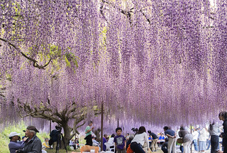 Wisteria at Byakugou-ji Temple, Hyogo