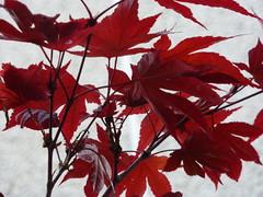 Japanese Maple (Bebopgirl1969) Tags: leaves japanesemaple