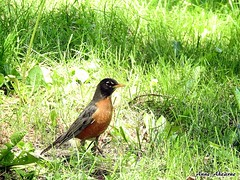 American Robin (--Anne--) Tags: bird nature robin birds wildlife robins americanrobin