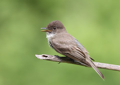 _53F6158 Vocalizing Eastern Phoebe (~ Michaela Sagatova ~) Tags: easternphoebe flycatcher birdphotography vocalizing michaelasagatova