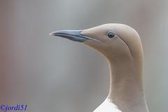 Reflejados en el ojo. (jordi51) Tags: naturaleza nature birds aves d600 uriaaalge araocomn somorgollaire jordi51 atlanticmurre 200400f4vrii