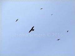 IMG_9763 marca (Josema Armero) Tags: lucena apusapus vencejo cerncalo