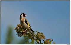 Chardonneret - European goldfinch (corsaire31) Tags: cardueliscarduelis europeangoldfinch chardonneretlgant fringillids passriformes