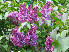 IMG_3651 Lilacs (jgagnon63@yahoo.com) Tags: flowers spring bush blossom may blooms lilacs uppermichigan escanaba domesticflowers canonsx40