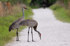 Sandhill Cranes Along The Trail (Robert F. Carter Travels) Tags: birds wetlands marsh wetland sandhillcranes sandhillcrane marshes gruscanadensis cbbr circlebbarreserve