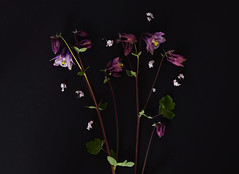 Summerflower,  Aquilegia (helena_granno) Tags: summer black aquilegia backdrop floer