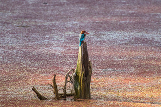 Kingfisher, Ranthambore Tiger Reserve, India